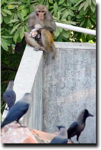 Mother monkey protects baby kittens against the crows