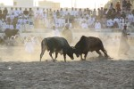 Omani bullfighting!