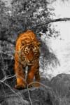 Prowling tiger (Ranthambore)