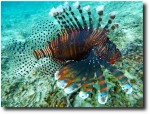 Lionfish (or scorpionfish - I'm never sure which is which)