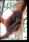 Our first glimpse of an orangutan! Looks like he just got out of the bath!