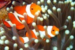 Clownfish hiding in the anemones. These are easily our favorite and the most photogenic of the fish we see below the surface!