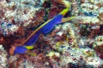 A couple of blue ribbon eels are disturbed by our presence