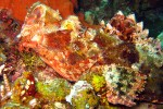 Coolly colored and camouflaged scorpionfish (with his mouth open).