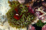 We love the Nemo fish - this orange and green combo is pretty cool. Alea took this shot; we rotated the camera on each dive