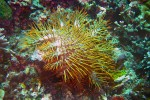 Uh-oh. This is the hated crown-of-thorns starfish