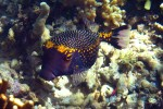 Boxfish - we call these puffers, but I'm not sure if they are