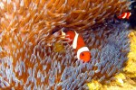 There was an anemone with 4 tiny clownfish living in it right at the base of a boat anchoring spot near our hotel.