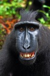 Cheese - and greetings from Sulawesi!! A black macaca from our jungle trek welcomes you to this album of pictures!