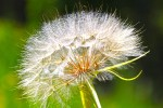 Fake dandelion - a western salsify instead