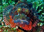 Another scorpionfish - a very different type, giving us a face-on stare!