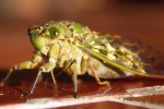 We were visited by really cool bugs during the weekend. We think this was a cicada that was in the process of molting