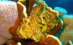 We saw several leaf scorpionfish during our time underwater