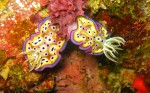 We saw this pair of nudibranches on our very first dive
