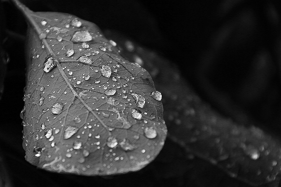 Rain on upside-down leaf.
