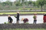 Planting rice on Lombok
