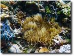 Clownfish clowning around in an anemone