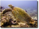 Our tutle, swimming along!