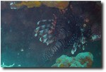 Lion fish (hiding under a rock)