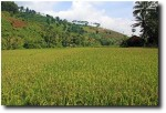 Rice as far as the eye can see
