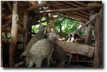 A few sheep greeted us in the village