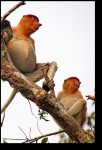 Proboscis monkeys - wonder why they're called that?