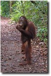 Who knew that orangutans could stand up so well?!