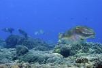 3 cuttlefish skooching along the bottom