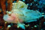 A scorpion leaf fish - translucent!
