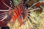 Cool lionfish - look but don't touch!