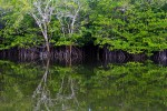 Peaceful mangroves reflected in the river.