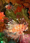 There were other cool creatrues as well - here are two lionfish hanging out.
