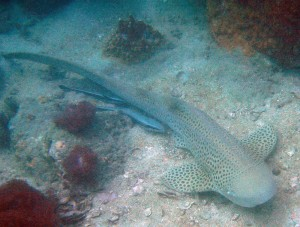 A resting Leopard shark with a couple of remoras. Cool stuff!